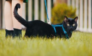 Should You Leash Walk Your Cat? | Ask the Cat Daddy