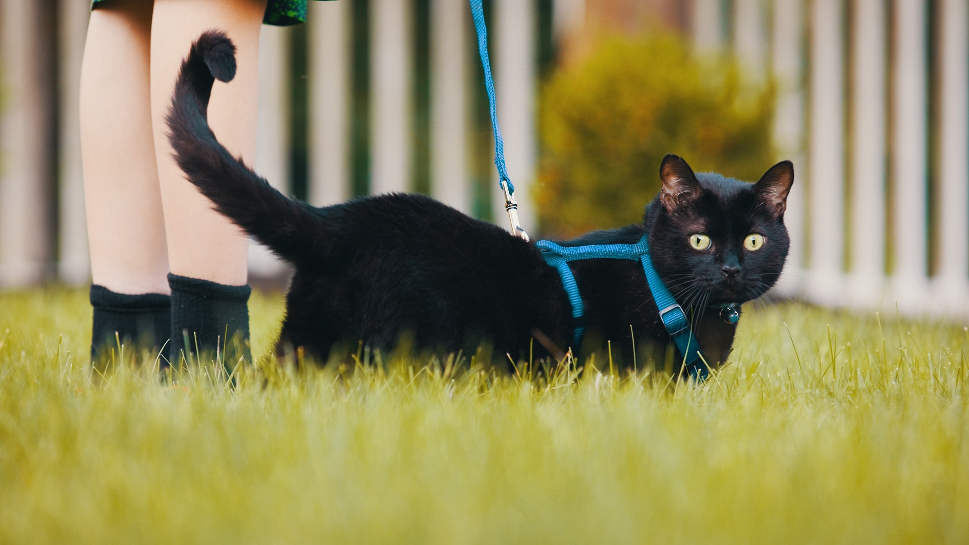 Should You Leash Walk Your Cat Ask The Cat Daddy Jackson Galaxy