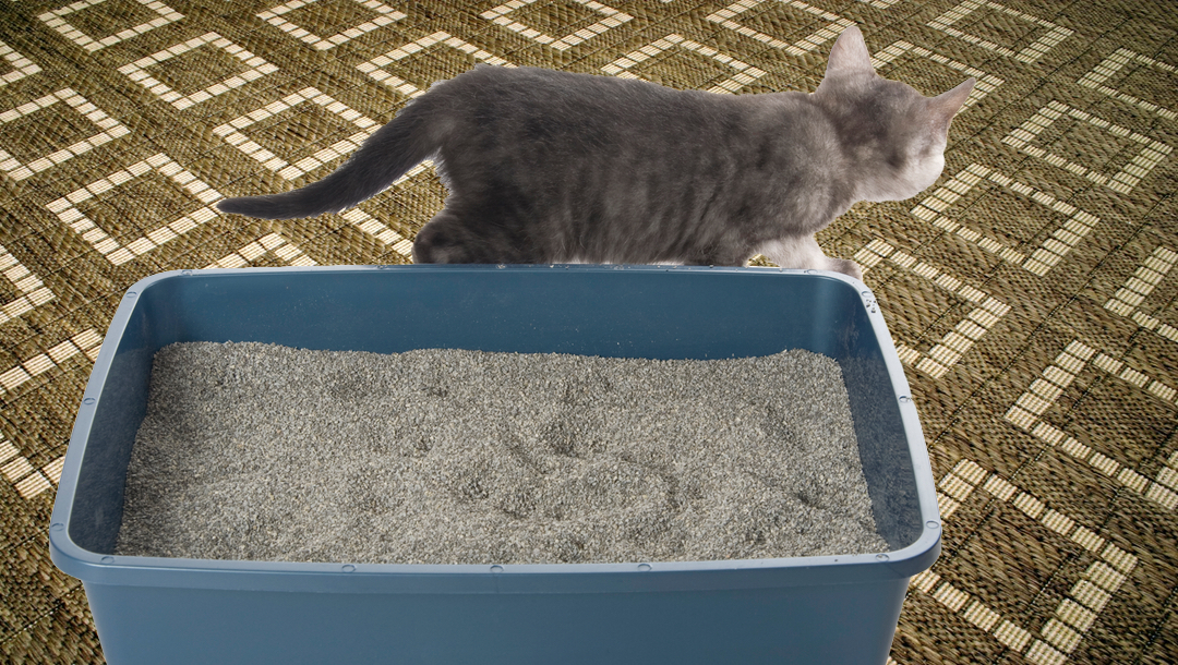 cat peeing on floor by litter box